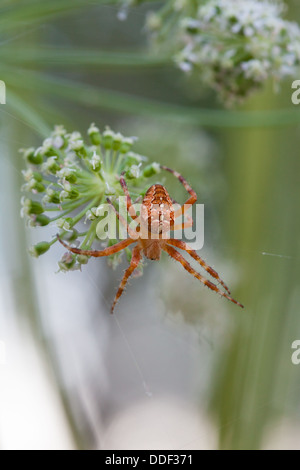 Cross spider in its network - Stock Photo