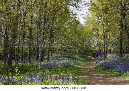 Through the bluebells on the Pennine Way near Wynch Bridge, Upper Teesdale, Co Durham, England - Stock Photo