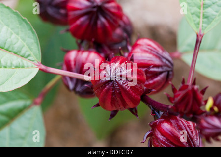 Fruit of the Hibiscus sabdariffa - Stock Photo