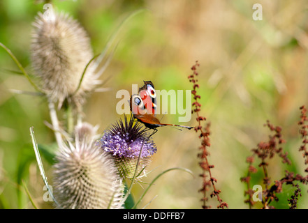 Peacock (Inachis io) butterfly on Teasel flower - Stock Photo