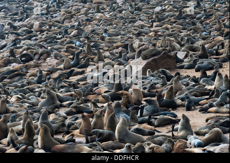 Crowded Cape Seal (Arctocephalus pusillus) colony at Cape Cross, Namibia - Stock Photo