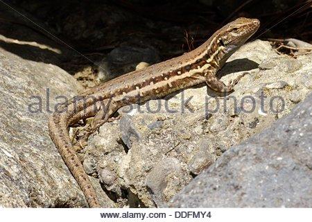 La Palma lizard, Sizeable lizard, Wall lizard, Lagarto Tizón, Gallotia galloti palmae, Male lizard, Lacertidae, - Stock Photo