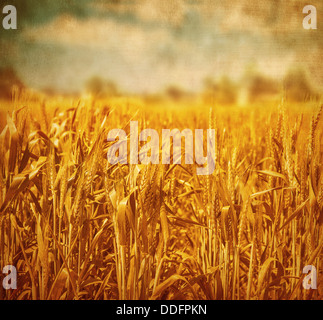 Beautiful golden wheat field over cloudy sky background, grunge photo, retro style image, agricultural meadow - Stock Photo