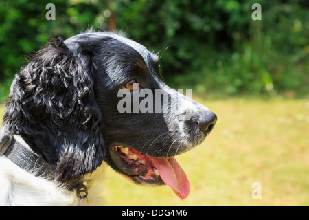 Side portrait of a purebred adult black and white English Springer Spaniel dog with tongue hanging out in a garden. - Stock Photo