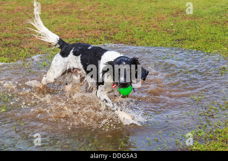 A wet black and white adult English Springer Spaniel dog having fun running in a puddle of water with a ball. England, - Stock Photo