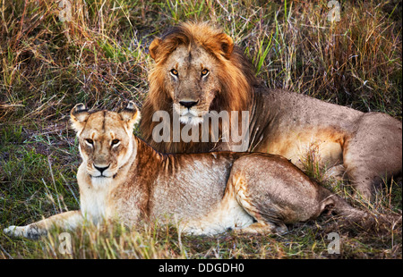 Male and female lion, couple, in the Serengeti National Park, Tanzania, Africa - Stock Photo