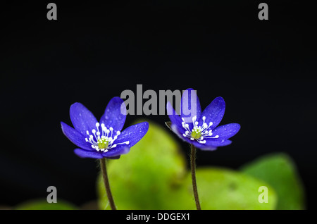 Flower beauty of Common hepatica. Photo taken on the island Oland in Sweden. - Stock Photo