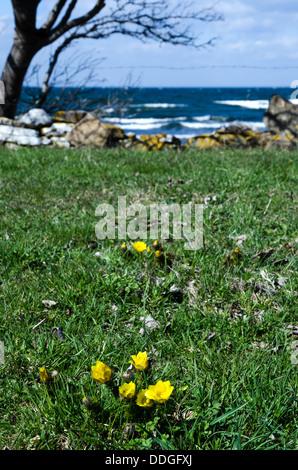 Pheasant's eye, Adonis vernalis, closeup at coast. Photo taken on the island Oland in Sweden. - Stock Photo