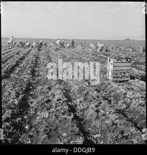 Tule Lake Relocation Center, Newell, California. Harvesting spinach. 538356 - Stock Photo