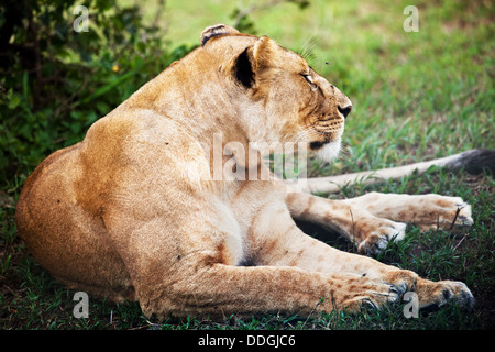 Female lion lying in the Serengeti National Park in Tanzania, Africa - Stock Photo