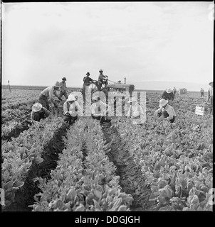 Tule Lake Relocation Center, Newell, California. Harvesting spinach. 538303 - Stock Photo