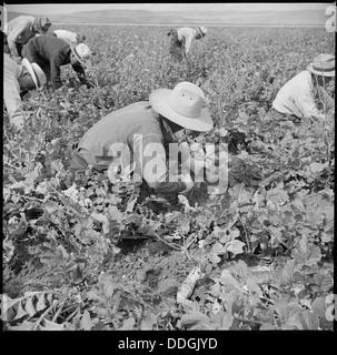 Tule Lake Relocation Center, Newell, California. Harvesting trunips. 538319 - Stock Photo
