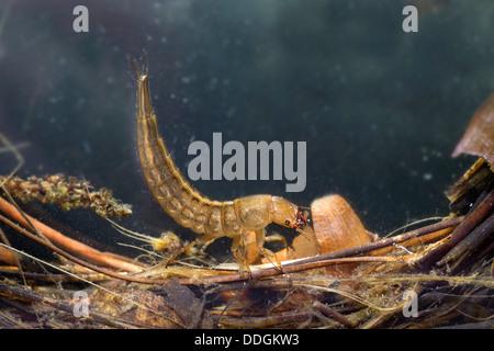 Larva; Great Diving Beetle; Dytiscus marginalis; Water; UK - Stock Photo