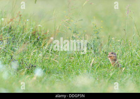 European Ground Squirrel (Spermophilus citellus) feeding. Central Balkan National Park. Bulgaria. - Stock Photo
