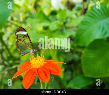 Glasswing Butterfly (Greta oto). - Stock Photo