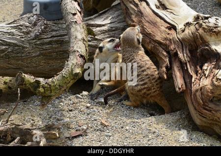 suricate, meerkat [zool.], Erdmännchen, Suricata suricatta, Munich Zoo, Tierpark Hellabrunn, meerkat  small mammal - Stock Photo
