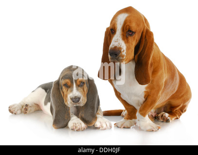 basset hound adult and puppy with reflection isolated on white background - Stock Photo