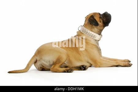 big dog - bull mastiff laying down looking up on white background - Stock Photo