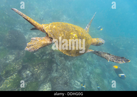 Green Sea Turtle or Pacific Green Turtle (Chelonia mydas japonica) and a Passer Angelfish or King Angelfish (Holacanthus - Stock Photo