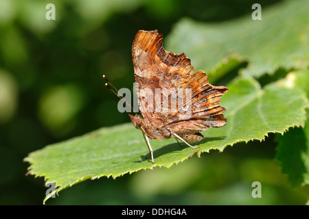 Comma butterfly (Polygonia c-album, Syn: Nymphalis c-album) perched on a leaf - Stock Photo