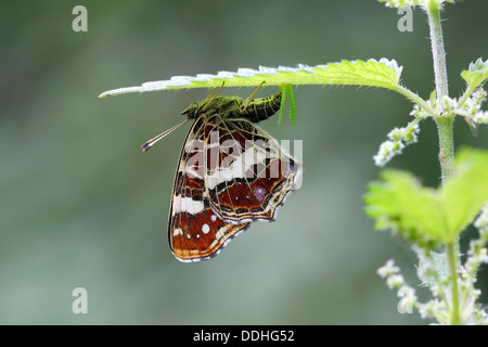 Map butterfly (Araschnia levana) laying eggs on the underside of a nettle leaf - Stock Photo