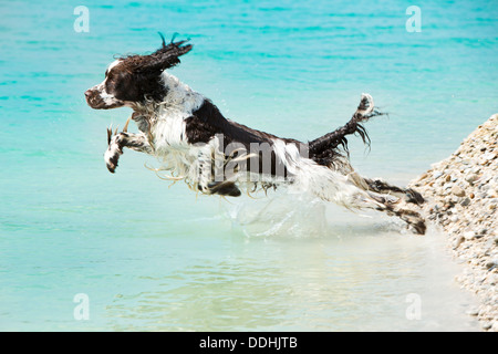 Germany, Bavaria, English Springer Spaniel jumping in water - Stock Photo