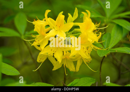Yellow Azalea or Honeysuckle Azalea (Rhododendron luteum, Azalea pontica), flowering, garden plant, native to Eastern - Stock Photo