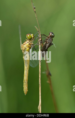 Newly hatched Spotted Darter (Sympetrum depessiusculum) with exuvia - Stock Photo