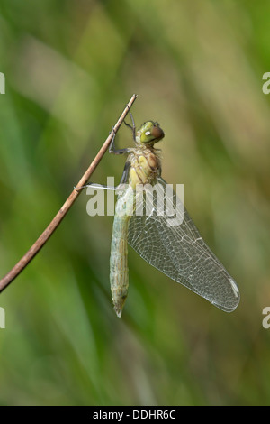 Newly hatched Spotted Darter (Sympetrum depessiusculum) - Stock Photo