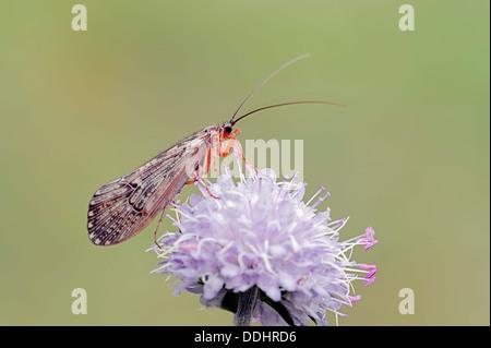 Caddis Fly (Halesus tesselatus) on the flower of a Devil's-bit Scabious (Succisa pratensis) - Stock Photo