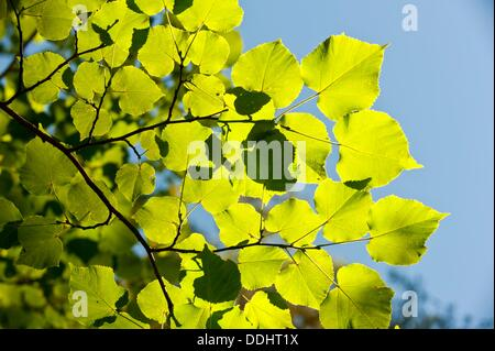Large-leaved Linden (Tilia platyphyllos), Nacimiento del Rio Cuervo Natural Monument, Serrania de Cuenca, Cuenca - Stock Photo