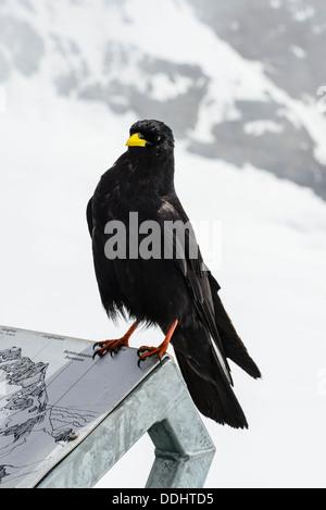 Alpine Chough or Yellow-billed Chough Pyrrhocorax graculus at the Jungfraujoch Switzerland - Stock Photo