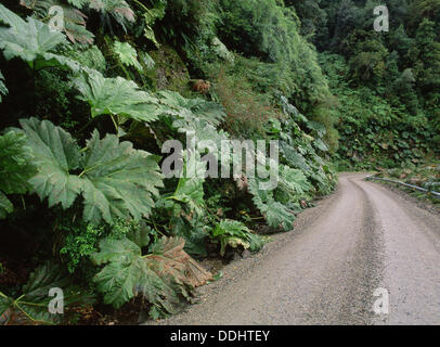 Nalca (Gunnera sp.) leaves in Queulat National Park. Aysen region, Patagonia. Chile - Stock Photo