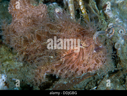 Close up image of hairy frogfish casting its lure. Puerto Galera, Philippines - Stock Photo