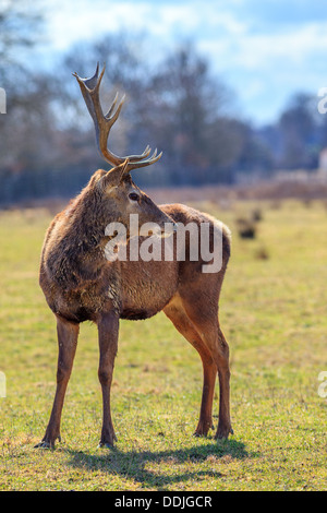 red deer stag in forest landscape at autumn - Stock Photo