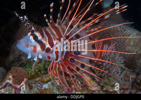 Spotfin lionfish displays detail pattern of pectoral fin in profile image. Puerto Galera, Philippines. - Stock Photo