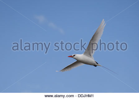 Adult Red-tailed Tropicbird, Phaethon rubricauda, flying against a clear blue sky over Nosy Ve island off south - Stock Photo