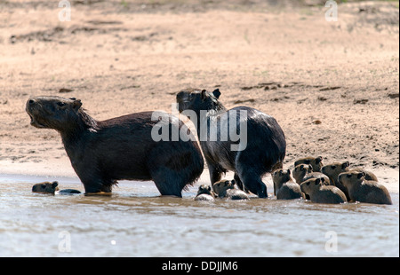 Family of Capybara (Hydrochoerus hydrochaeris) in the Three Brothers river Porto Jofre Pantanal Mato Grosso Brazil - Stock Photo