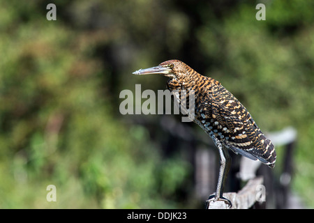 Rufescent Tiger Heron Tigrisoma Lineatum bird Pantanal Mato Grosso Brazil South America - Stock Photo