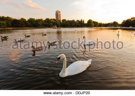 Swans ( Cygnus olor ) swimming in serpentine lake, hyde park, at sunset. London, England , U.K. - Stock Photo
