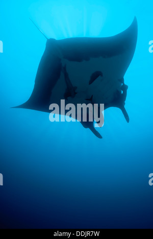 Giant Manta, Mobula birostris, San Benedicto, Revillagigedos Archipelago, Pacific - Stock Photo