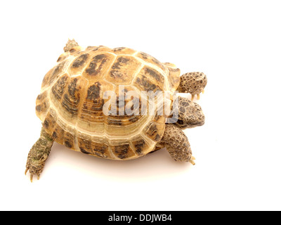Herman's Tortoise turtle on a white background - Stock Photo