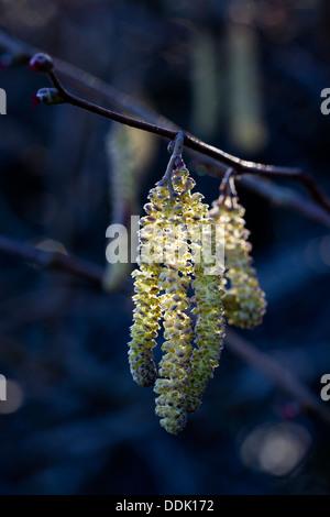 Common Hazel (Corylus avellana) catkins (male flowers). Powys, Wales. April - Stock Photo