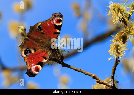 Peacock butterfly (Aglais io) feeding on Sallow flowers in Spring. Powys, Wales. April. - Stock Photo