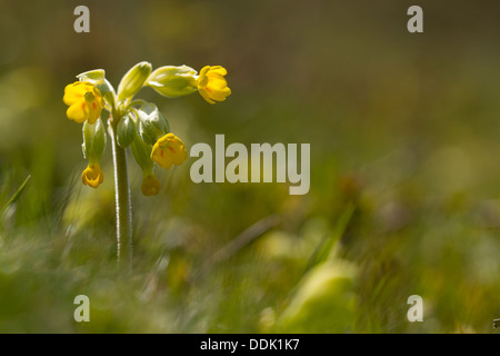 Cowslip (Primula veris) flowering on downland. Near Alfriston, East Sussex. May. - Stock Photo