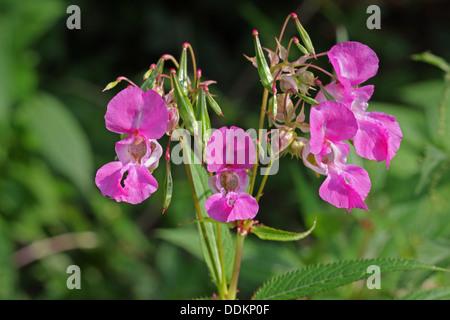 Himalayan Balsam, Impatiens glandulifera, Close-up of flowers, Lea Valley, Essex, UK