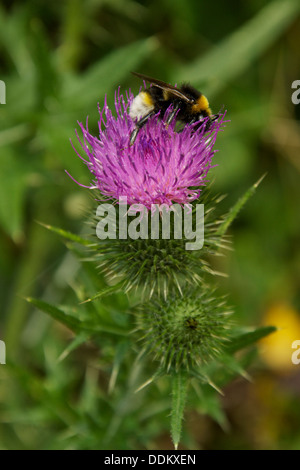 Bumble bee on a purple milk thistle flower - Stock Photo