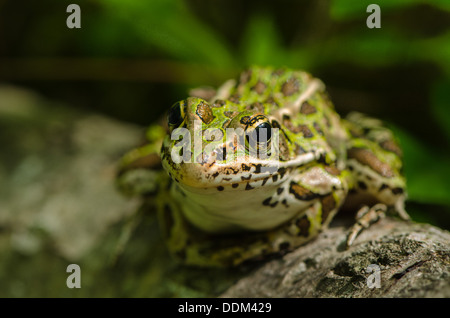 A Northern Leopard Frog sits on stump waiting fro prey. - Stock Photo