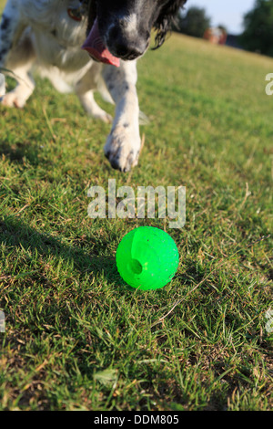A playful adult black and white English Springer Spaniel dog chasing a green ball on grass outside. England UK Britain - Stock Photo
