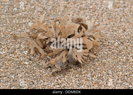 Broad-leaved Hornwrack, Blätter-Moostierchen, Blättermoostierchen, Moostierchen, Flustra foliacea - Stock Photo
